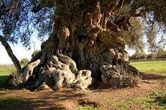 l'olivo  più anziano della tenuta