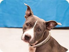 Pasadena CA - Pit Bull Terrier Mix. Meet AFFINITY a dog for adoption.