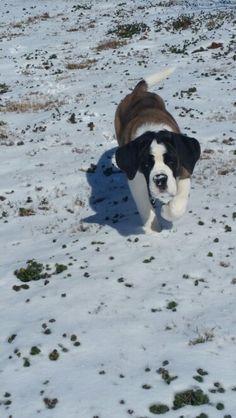 7aac5543b004 Saint Bernard--5 month old Bailey! St Bernards