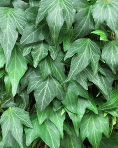 Hedera helix 'Green Ripple' |