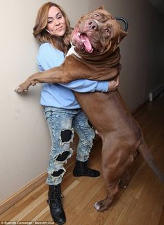 His name is Hulk. Well, look at him - what else would you call him? Weighing twelve and a half stone (175 lbs), he is believed to be the world's largest pit bull, and at only 17-months-old, he hasn't stopped growing yet. New Hampshire residents and proud owners Marlon and Lisa Grennan say their monster pet is 100 percent trusted with their three-year-old son, Jordan, despite the breed's fierce reputation. They even let him ride the animal like a horse. (Source)