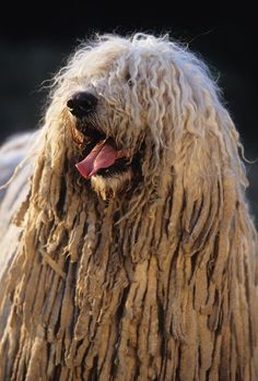 These four-legged friends will keep your flocks safe from predators. Puli Dog Breed, Dog Breeds, Pet Dogs, Dogs And Puppies, Dog Cat, Doggies, Mop Dog, Animals Beautiful, Cute Animals