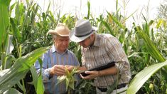 Two Farmers Work In A Corn Field, Using Tablet To Record The Results