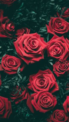Nothing like red roses wallpaper Flor Iphone Wallpaper, Wallpaper Rose, Nature Wallpaper, Mobile Wallpaper, Dark Red Wallpaper, View Wallpaper, Wallpaper Space, Trendy Wallpaper, Screen Wallpaper