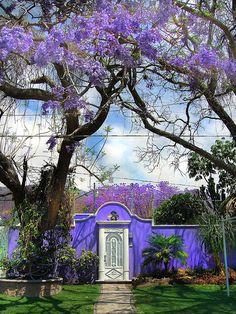 Jacaranda & Purple Adobe - Wonderful .... Ajijic Home in Purple | Flickr – Condivisione di foto!