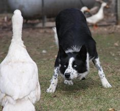 Typical stance when they're getting ready to work, they are a herding dog, there in their best environment when they can 'work' an animal such a ducks, cattle or horses, that's what we have.