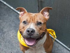 GONE - HANDSOME 2 YR OLD LITTLE BOY TO BE DESTROYED - 08/05/14~~ Manhattan Center -P My name is JUNE. My Animal ID # is A1008742. I am a male brown and white am pit bull ter and staffordshire mix. The shelter thinks I am about 2 YEARS old. I came in the shelter as a STRAY on 07/31/2014 from NY 10468, owner surrender reason stated was STRAY.