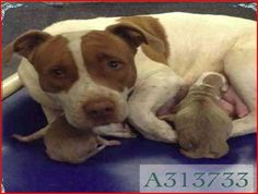 **VERY URGENT:Need COMMITMENT by 10am WED - 2yr AMSTAFF BLEND MOTHER #dog WITH 2 PUPPIES -#TX-http://fb.me/1N9XePokH