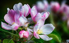 Kép forrása: http://gtphotographs.files.wordpress.com/2013/05/apple-blossom-w.jpg.