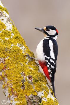 Great Spotted Woodpecker (Dendrocopos major) is a bird species of the woodpecker family. It is distributed throughout Europe and northern Asia.