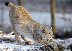 Le lynx perdu de vue dans le massif des Vosges (France)  Bouloches de poils devenues rarissimes et empreintes quasi-introuvables: le lynx se fait discret dans le massif des Vosges, à tel point que des associations crient à l'extinction en dénonçant le braconnage, et que l'Office national de la chasse et de la faune sauvage (ONCFS) a lancé une campagne de recensement de ce prédateur réintroduit il y a trente ans.