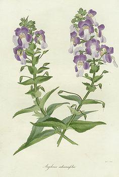 Paxton Magazine Botany 1834