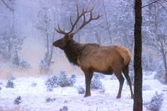 Elk Herds Roam in Ruidoso – Video Elk Images, New Mexico Usa, Bull Elk, Winter Photos, National Forest, Historical Sites, Rocky Mountains, Deer, New Mexico