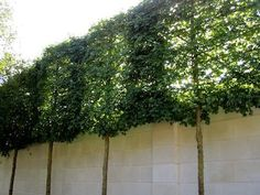Pleached hedge for added privacy