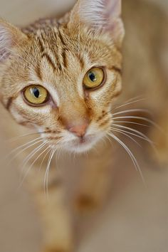 One of our babies, Chanel. She's an ocicat and a huge troublemaker. We just adore her.