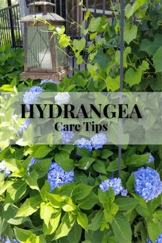Easy Care for Beautiful Hydrangeas ~ Gwin Gal Inside and Out Hydrangea Care, Hydrangea Not Blooming, Blue Hydrangea, Hydrangeas, Hydrangea Landscaping, Garden Landscaping, Landscaping Ideas, Back Gardens, Outdoor Gardens
