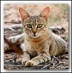 African wildcats [Felis silvestris lybica] occur across Africa and around the periphery of the Arabian Peninsula to the Caspian Sea. They are found from Morocco through Algeria, Tunisia, Libya and into Egypt, and inhabit the savannas of West Africa from Mauritania to the Horn of Africa, including Somalia, Eritrea, Ethiopia, Djibouti and Sudan, southwards to South Africa.