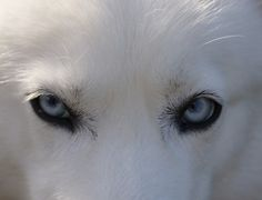 Husky, Eyes, Blue, Dog, Siberian, Doggy, Arctic, Polar