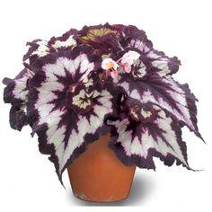 Begonia 'China Curl' (Begonia rex hybrid) - Rex Begonias - Begonias