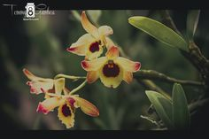 Orchid by Tommy Gamboa Flores