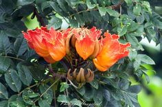 Spathodea campanulata 20111030_27148 | Tulipier - African Tu… | Flickr - Photo Sharing!