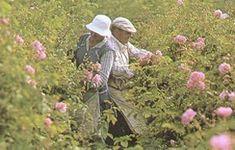 A Grasse, la récolte de la rose de mai n'a lieu qu'une fois par an et ne dure que 3 semaines. Il en va de sa récolte comme de celle de la vi...