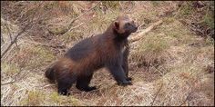 List Wolverine as Endangered Species | Please SIGN and share petition. Thanks