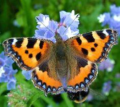 Churchill's lifelong interest in lepidoptera peaked after World War II, when he hatched beautiful species of moths and butterflies at Chartwell. Butterfly Chrysalis, Butterfly Species, Butterfly Kisses, Butterfly Art, Butterfly Painting, Love Garden, Chenille, Beautiful Butterflies, Natural Wonders