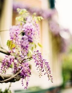 Wisteria in bloom.   Photography by Jen Huang