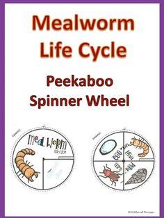 Mealworm Life Cycle $