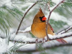 cardinal photos birds | nice wallpapers | birds wallpapers | birds wallpaper | bird wallpaper ...