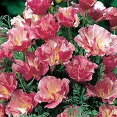 Californian Poppy Appleblossom Pink Mr Fothergill's Flower Seeds