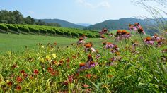 Get a closer look at Virginia's version of Napa Valley with a visit to the Monticello Wine Trail's Pippin Hill Farms.