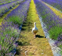 Fields Just out for a little stroll. Nothing like a goose alone with his thoughts. Nothing like a goose alone with his thoughts. Lavender Cottage, Lavender Garden, Lavender Blue, Lavender Fields, Lavender Flowers, Lavander, French Countryside, Plantar, Flower Farm