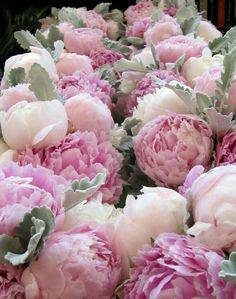 Pink white Piony.