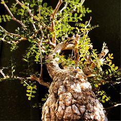 『◯⚫︎草シリーズ◯⚫︎  *  落葉がゆるやかになってきました  *  今年は葉を残したまま春を迎えそうです  *  #パキプス#オペルクリカリア#塊根#サボテン#仙人掌#多肉植物#植物#観葉植物#선인장#다육#鉢#インテリア#植物のある暮らし#pachypus#operculicarya#caudiciform#caudex#cactus#cacti#Succulent#succulents#plants#interiorplants#pottery#interior#toky_item』tsuu★*.さんが投稿したオペルクリカリア パキプス,多肉植物,植物のある暮らし,植物まみれの部屋コンテスト,Caudex,奇跡の一枚コンテスト,植中毒,多肉女子,塊根植物,自慢の多肉サボテンコンテストの画像です。 (2017月2月25日)