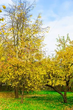 Qdiz Stock Photos | Autumn Nature of Branchy Yellow Trees,  #autumn #background #beautiful #beauty #blue #branch #cloud #colorful #day #environment #fence #foliage #golden #grass #green #idyllic #land #landscape #leaf #leaves #multicolored #nature #nobody #outdoors #plant #scenery #scenic #season #sky #tranquil #tree #view #weather #wood #wooden #yellow