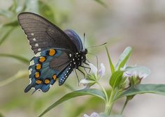 The spicebush swallowtail butterfly is a large, dark swallowtail. It is one of our most beautiful and interesting swallowtails.