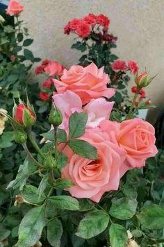 Красивые Розы, Экзотические Цветы, Желтые Розы, Розовые Деревья, Окрашенные Цветы, Красивые Цветы, Букет Из Роз, Синие Цветы, Цветок Крючком