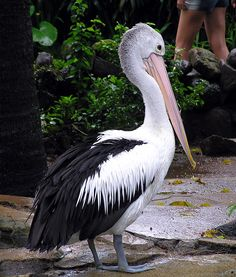 *AUSTRALIA ~ The Australian Pelican (pelecanus conspicillatus) is a large waterbird. widespread on the inland and coastal waters of Australia and New Guinea, from Emuwren.