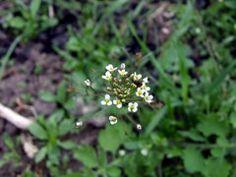 Capsella bursa-pastoris Shepherd... CONDIMENT ... OIL ... from plants!