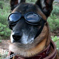 These tech-savvy military dogs will kill you with cuteness (pictures) - Stylish shades for form and function.   ... http://scotfin.com/scot-fin-novel/ says, Well, yeah, they're cute when they have cooler shades than me.