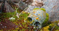 Moss-covered skull at an Inuit grave, Syd Kap, Greenland. The graves resemble piles of big rocks in the middle of desolated rocky land. You can only differentiate the graves from the land by the presence of human bones.