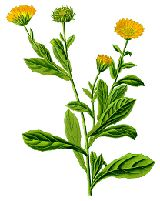 Marigold (Calendula) has been used medicinally for centuries as it has a high content of flavonoids, which are chemicals that act as anti-oxidants in the body. Anti-oxidants are thought to protect body cells from damage caused by a chemical process called oxidation.