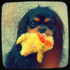 Innocence.   #dog #cavalier
