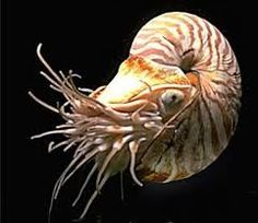 The nautilus shell, the arms of spiral galaxies and the curves of tropical cyclones present some of the finest examples of logarithmic spirals found in nature.