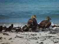 Schutzstation Wattenmeer -  Vögel, die BRUTPLÄTZE findet man, wenn man die einzelnen Vögel anklickt.