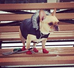 Winter French Bulldog Frenchie