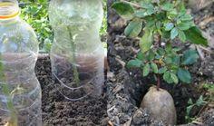 Ze steekt een rozensteel in een aardappel en kijk wat er een week later gebeurt! Fantastisch!