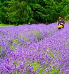 Sequim Lavender Festival this Weekend